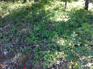 Poison oak: my earthly nemesis.
