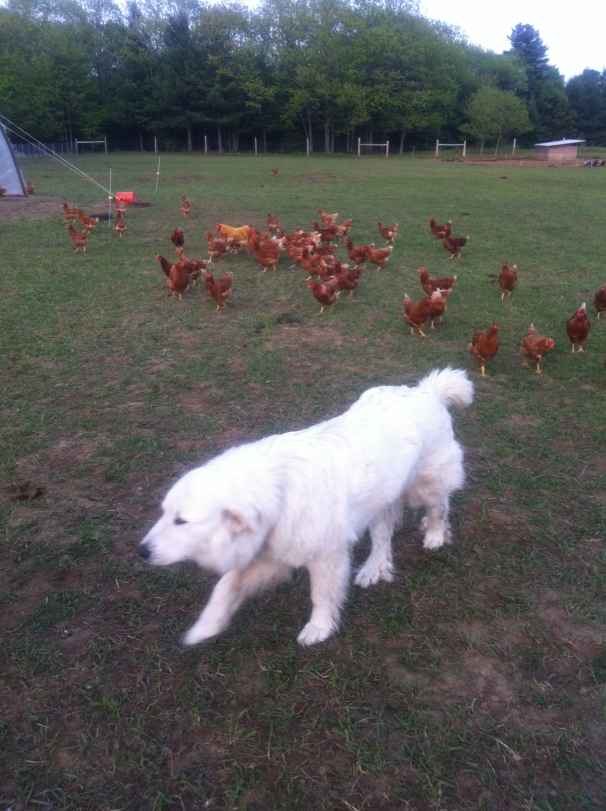 Not surprisingly, my beloved childhood dog was a Great Pyrenees, though she was not tasked with guarding chickens.
