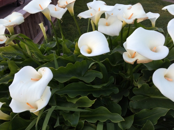 Calla lilies in full, beautiful bloom.