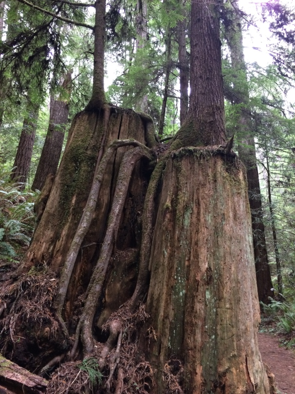 Roots are not always underground; apparently they can also exist on stumps.