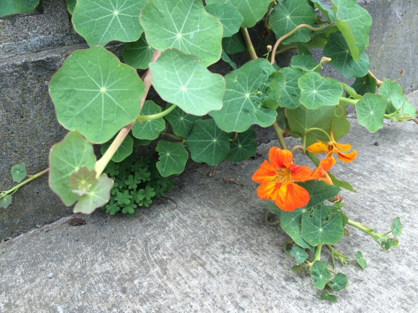 The vibrant orange of a nasturtium blossom, wiling out of the confines of my yard.