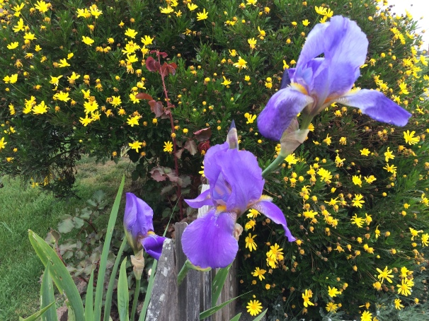 Irises springing into action. (Get it? SPRING-ing?)