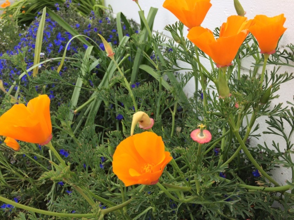 "I have to include the California Poppy. Steinbeck captured this color perfectly in a line from ""East of Eden."""