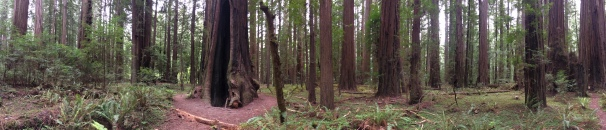 Redwoods, redwoods, as far as I can see!